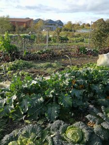 veg in the allotments