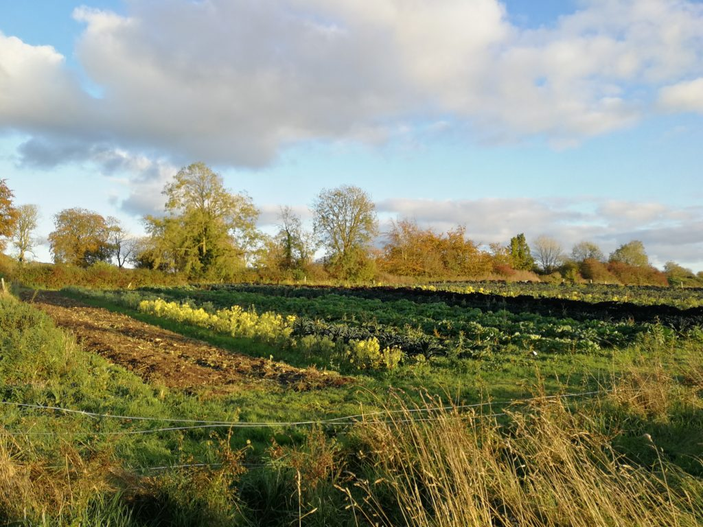 Rows of vegetable in the autumn sun at Cloughjordan community farm